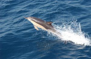 Common Dolphin New Zealand Cruise